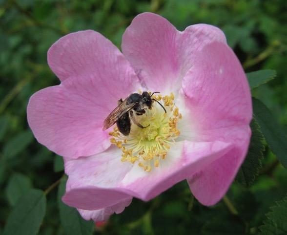 Online Class: Wild Rose Medicine