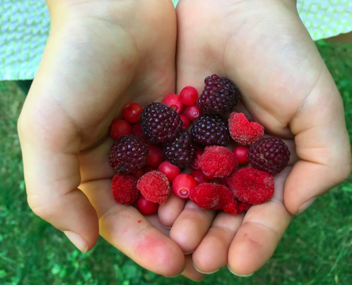 Wild Food Traditions – Native Berries