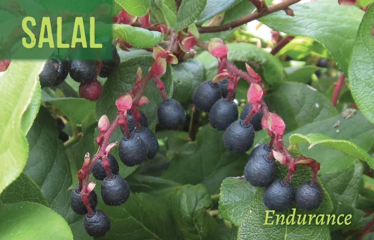 Plant of the Month: Salal