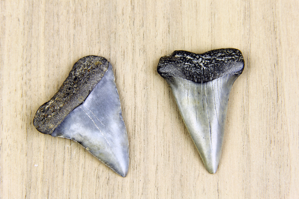 Pro Tips For Finding Sharks Teeth on Jacksonville Beach
