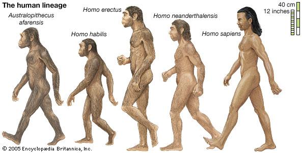 Illustration der Evolution des homo sapiens mit seinen Vorfahren. Homo Neanderthalensis, Homo Erectus, etc.