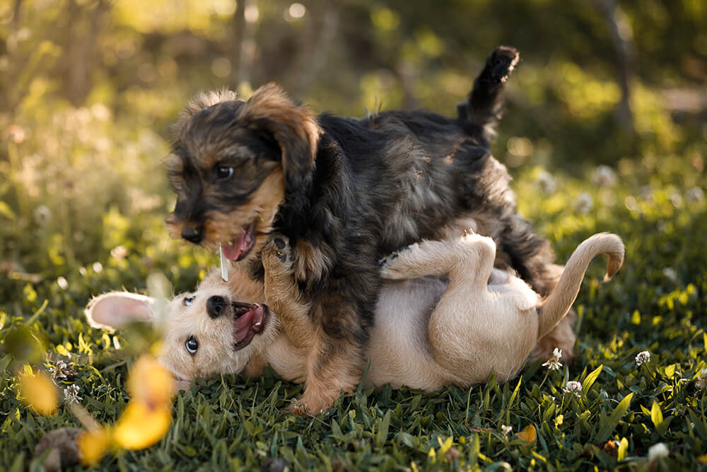 Paired Puppy Play & Train