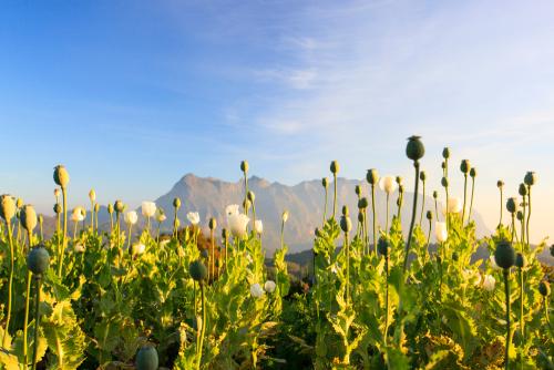 opium in poppy form