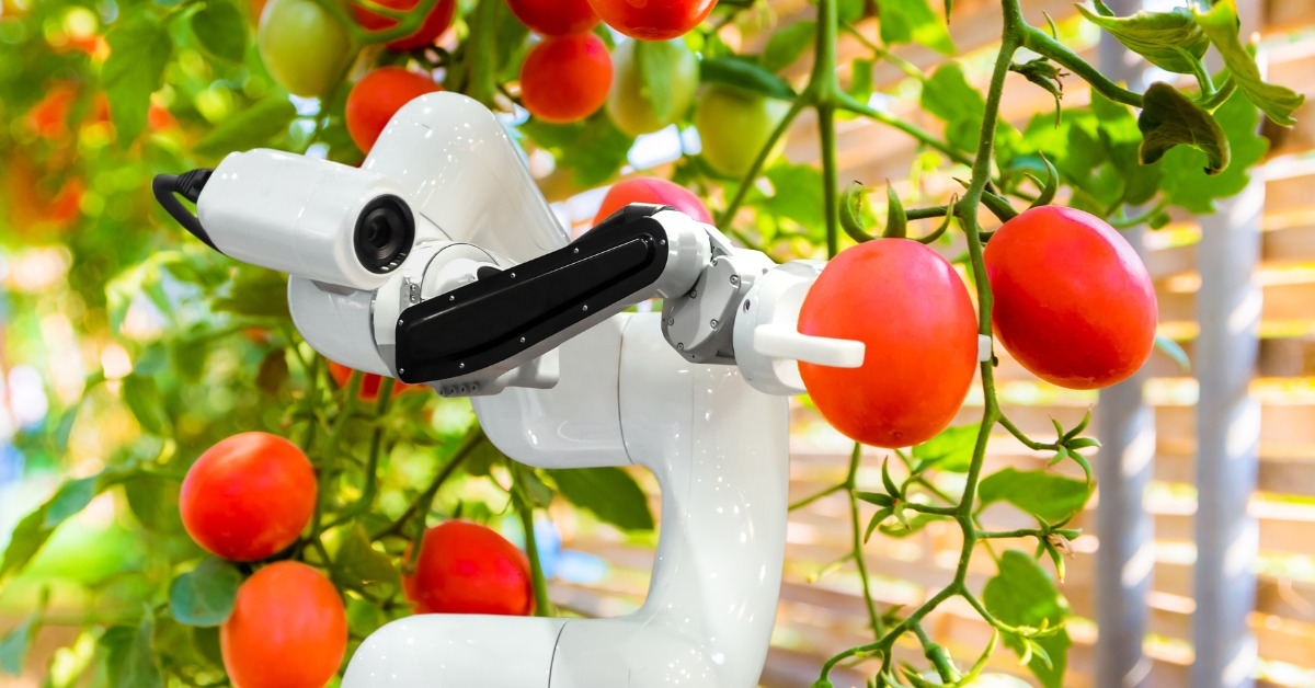 Robotics arm picking ripe tomato
