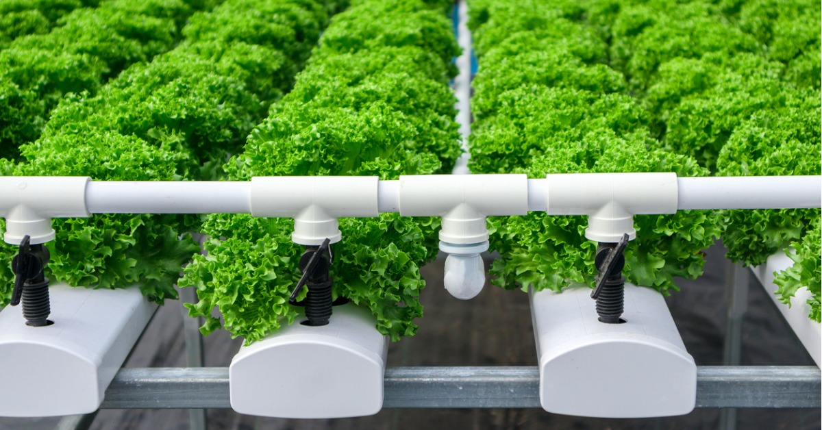 Growing lettuce in vertical farm - future of farming high tech facility