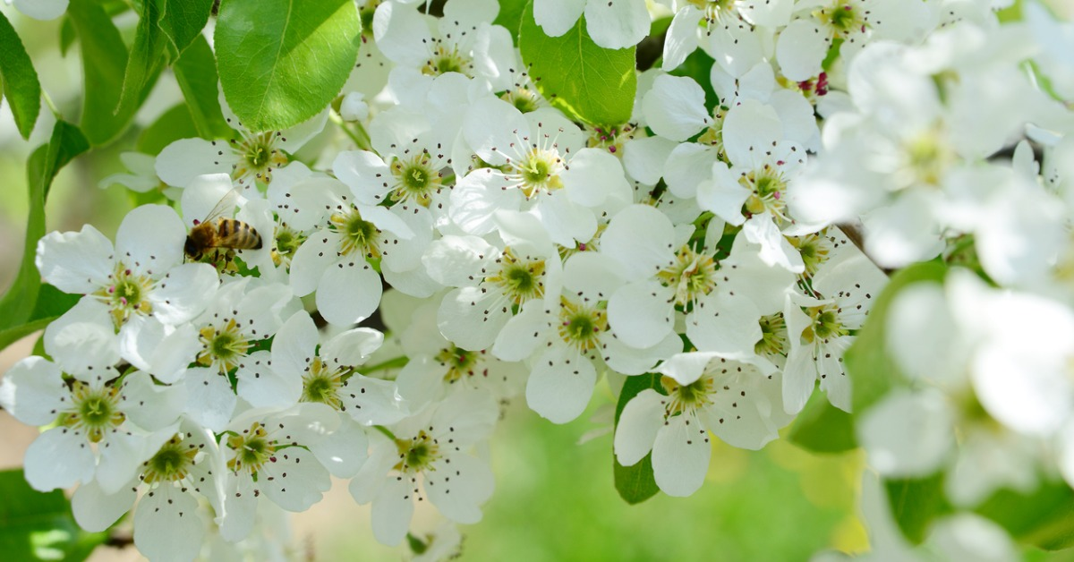 Wild-honey-bee-pollinating-a-white-flower-on-a-pear-tree