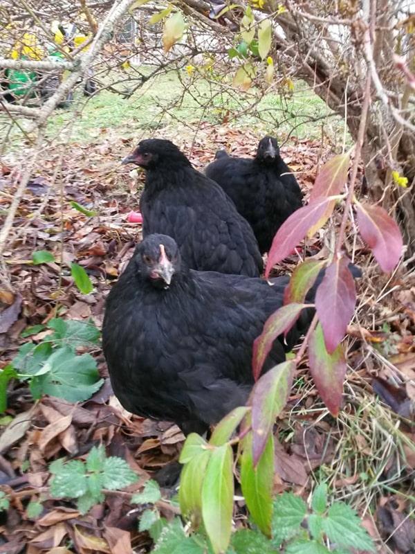 Suites des Communications Animales - Les cocottes - Suivre sa Joie - Saskia Parein