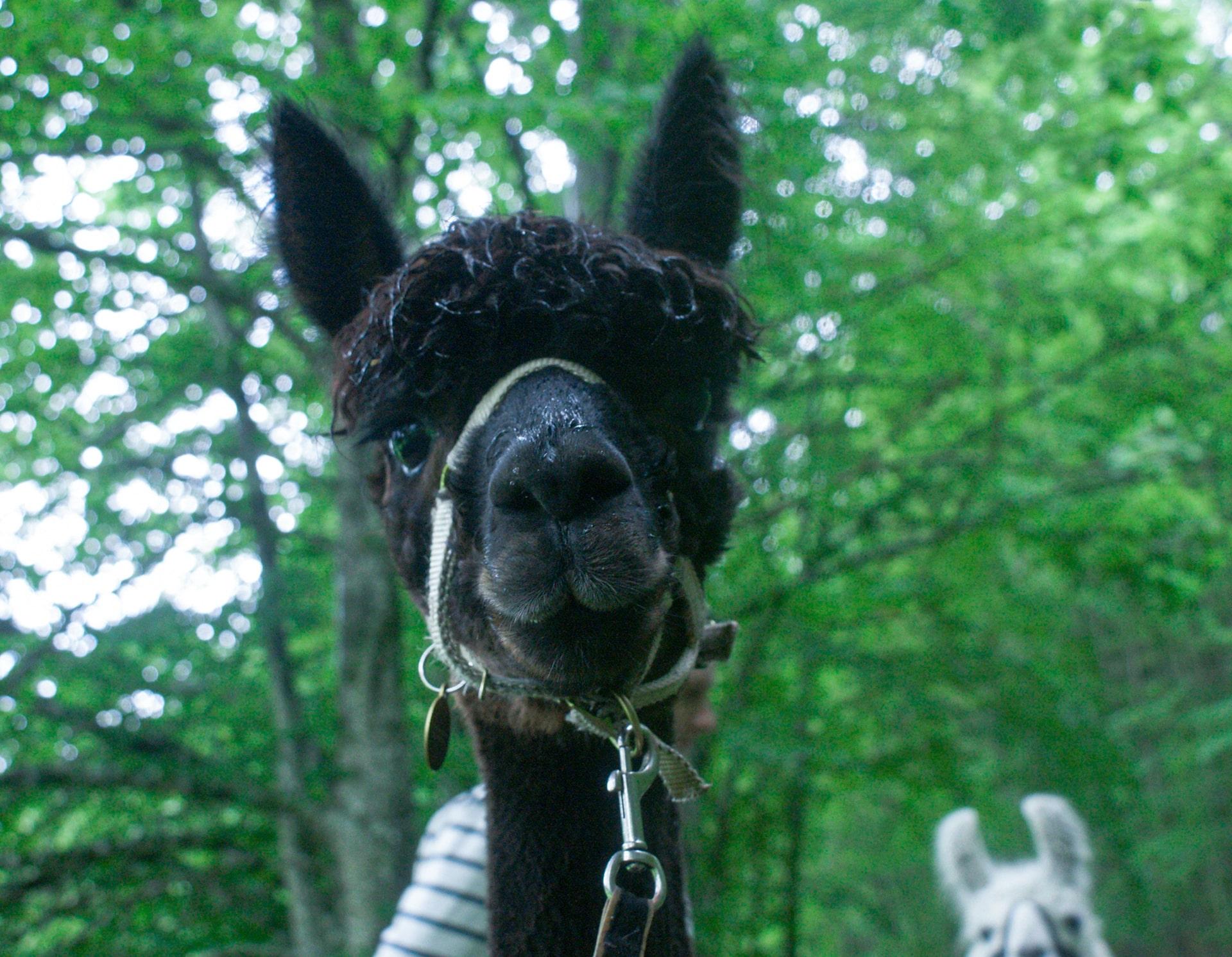 Blog Lifestyle - Les lamas et alpagas, des animaux d'une autre planète - Suivre sa Joie - Saskia Parein