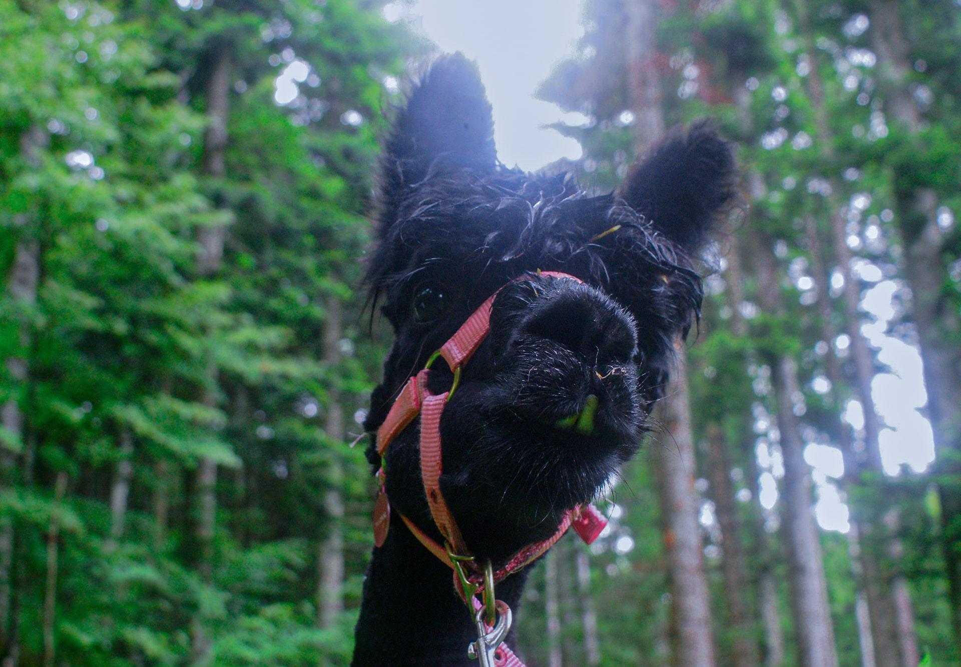 Blog Lifestyle - Se balader avec des lamas et alpagas - Suivre sa Joie - Saskia Parein