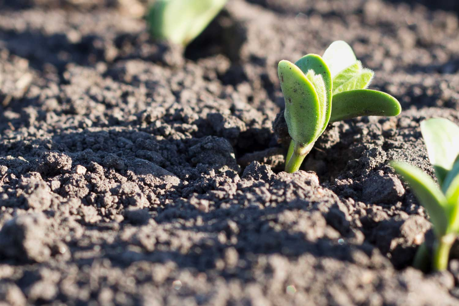 soybean plant emerging