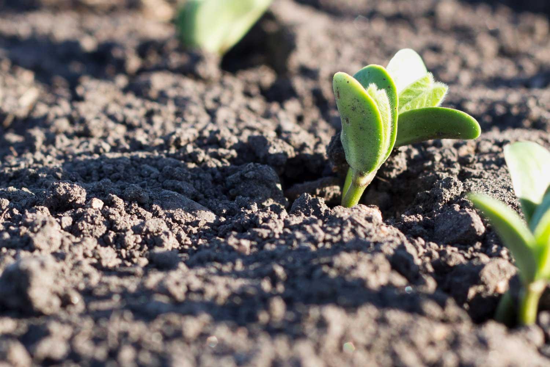 soybean plant emerging