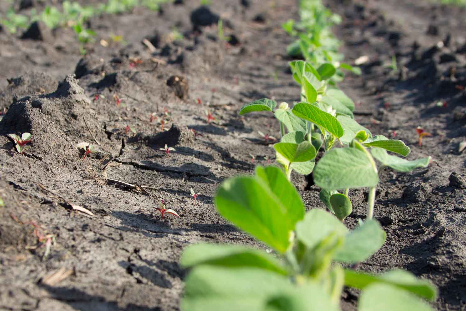 soybean field with young weeds emerging