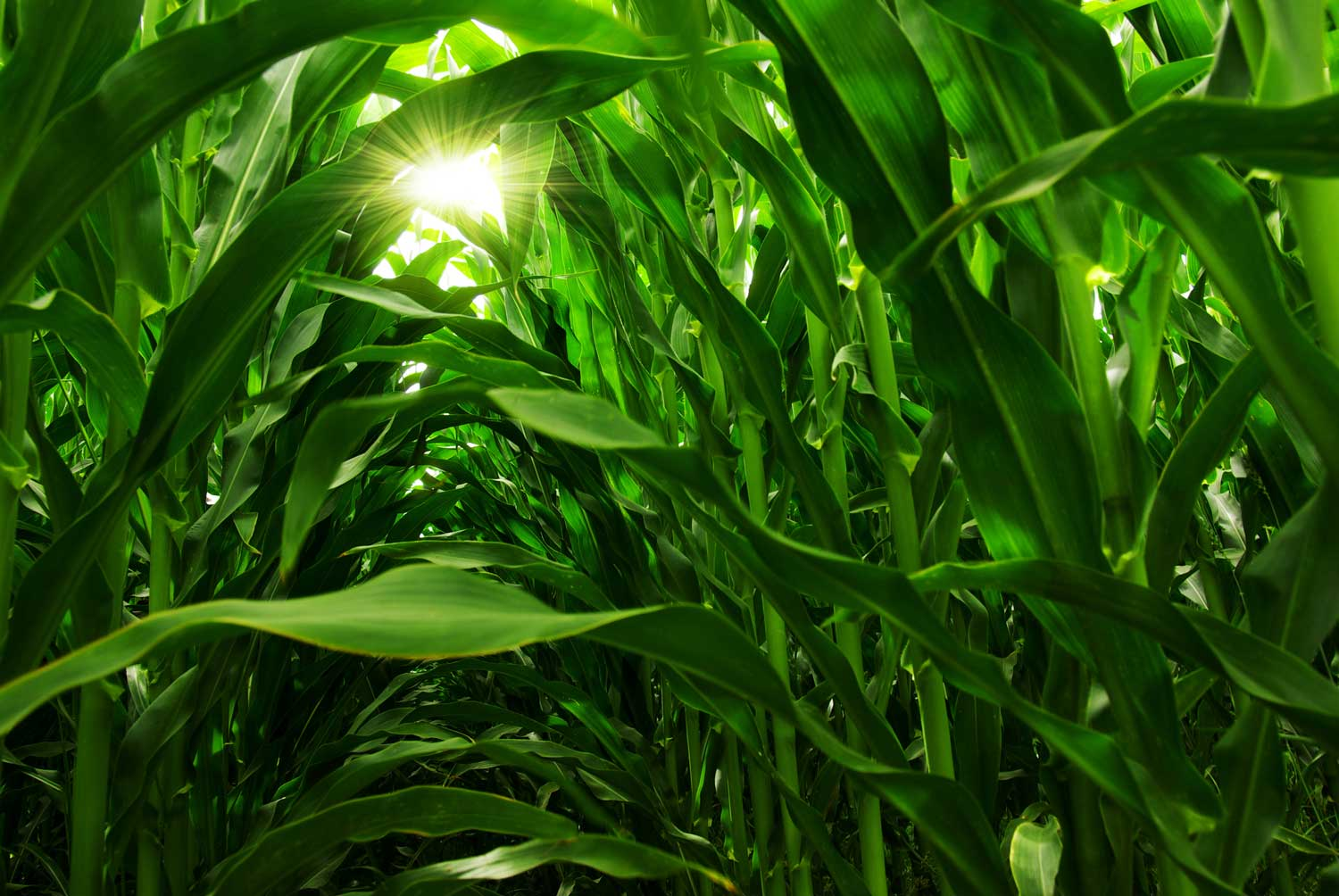 using nitrogen stabilizers on corn