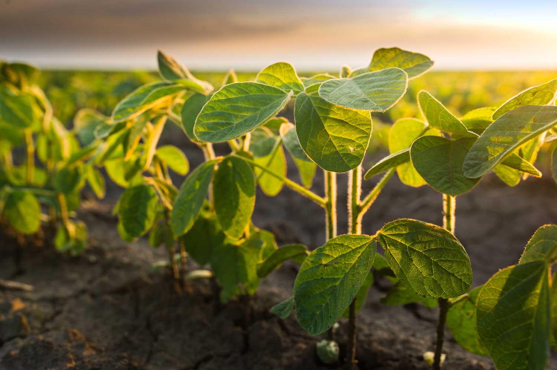 soybean plants growing