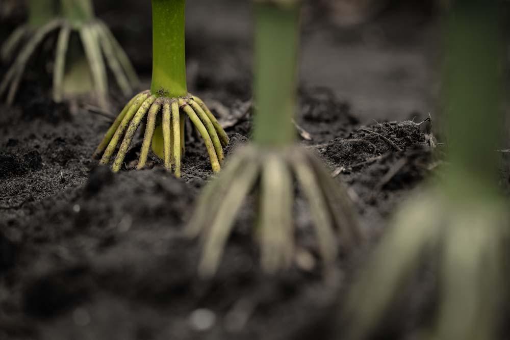 corn plant brace roots