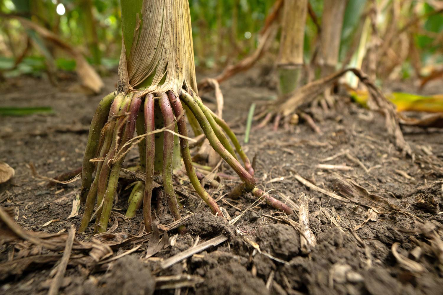 corn plant brace roots seeking nitrogen