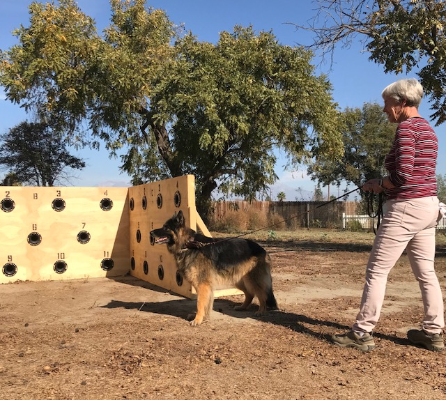 German Shepherd scent work training