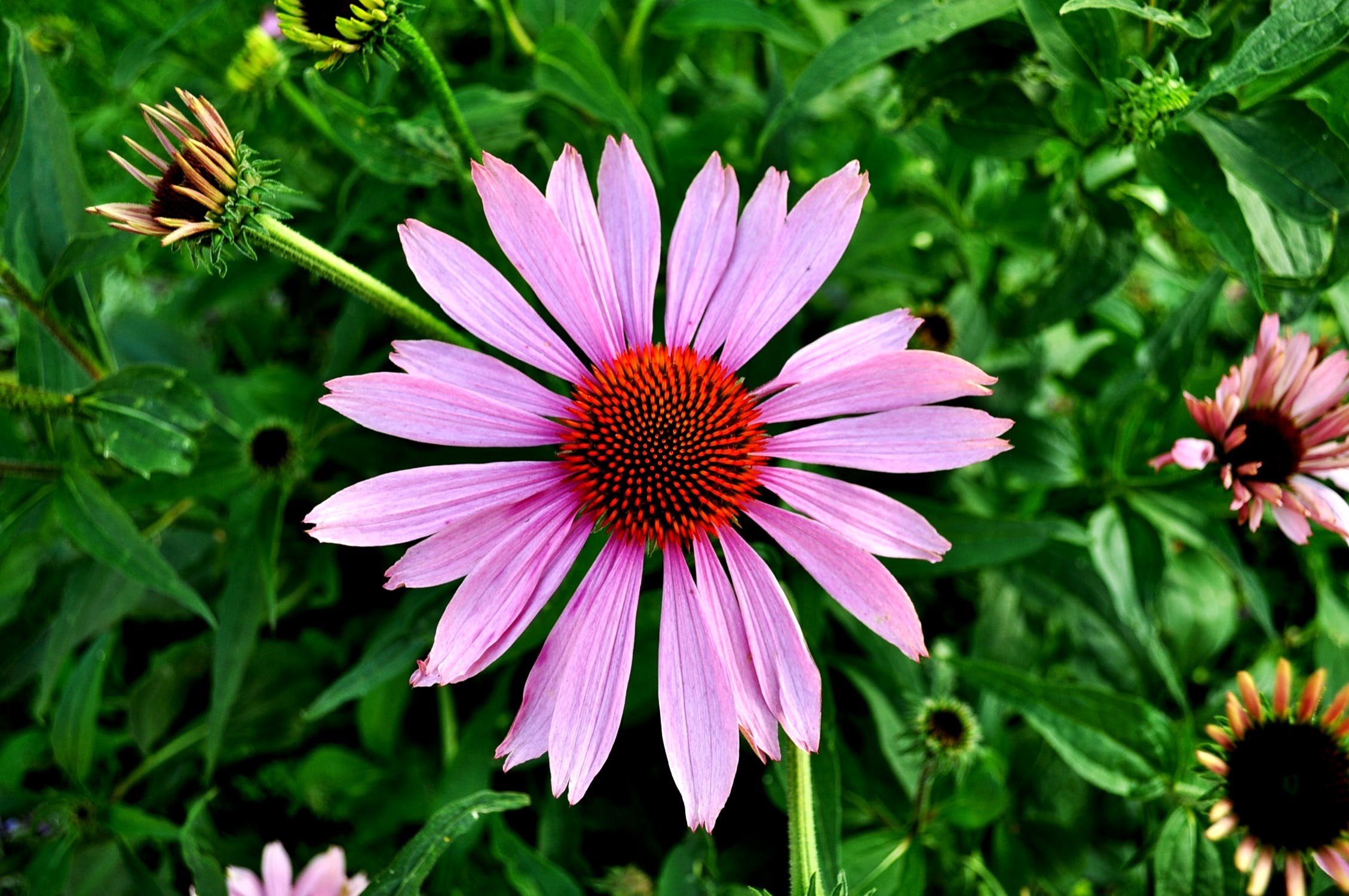 The Ultimate Guide to Echinacea Tea: Benefits, Side Effects