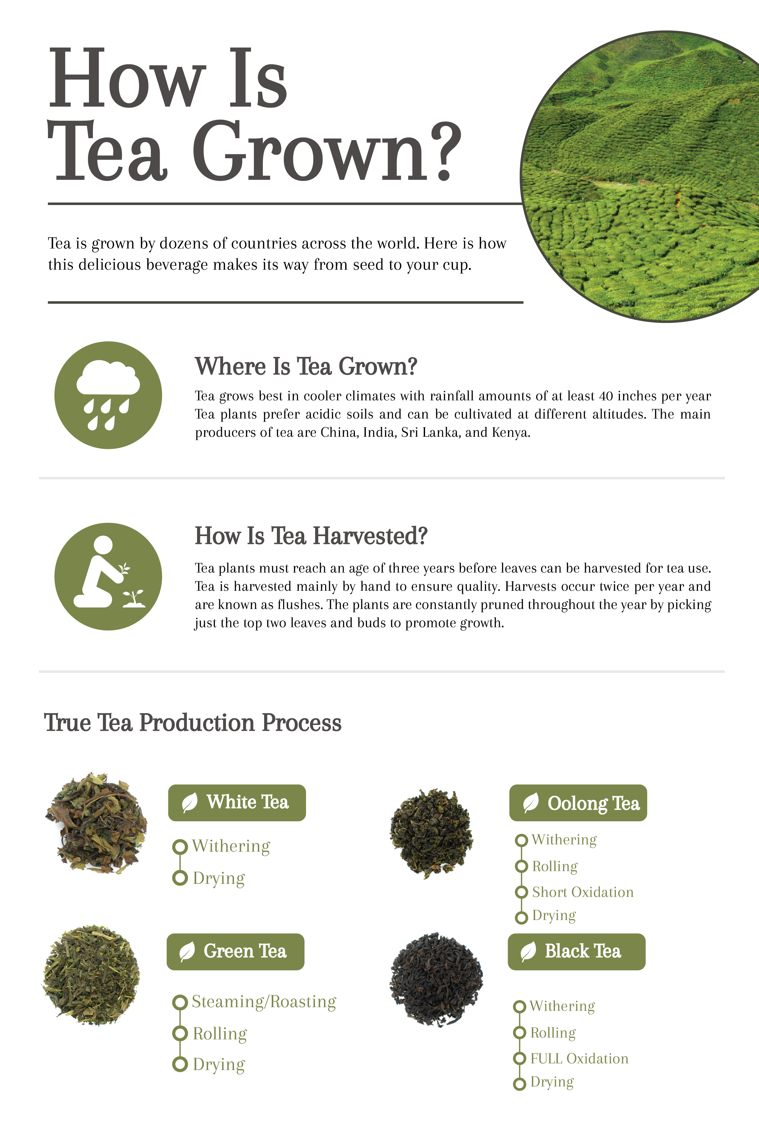 How Is Tea Grown? The Story of Tea From Harvest to Cup - Cup & Leaf