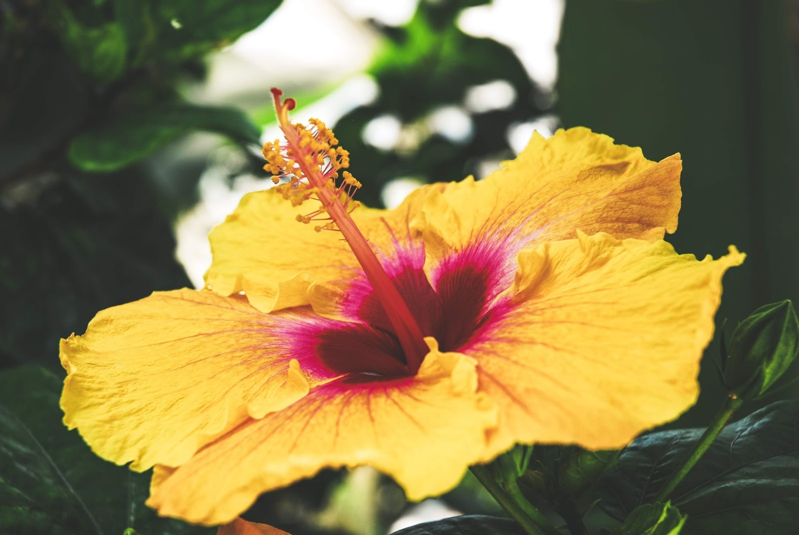 Hibiscus A Healthy Beverage From Flower To Cup Cup Leaf