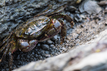 Crab in a tide pool