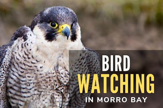 Bird Watching in Morro Bay - Peregrine falcon
