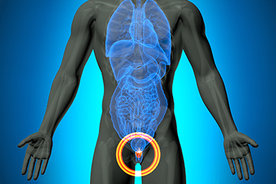 Male anatomy, location of the prostate