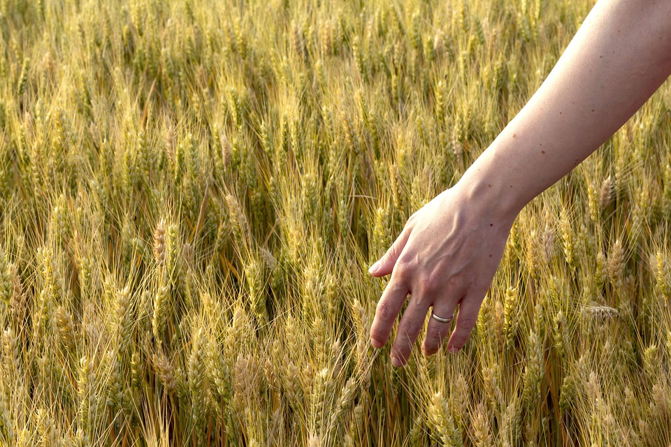 A pregnant woman runs her hand through a field of wheat in the spring.