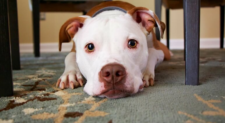 How do you keep your carpet clean with pets?