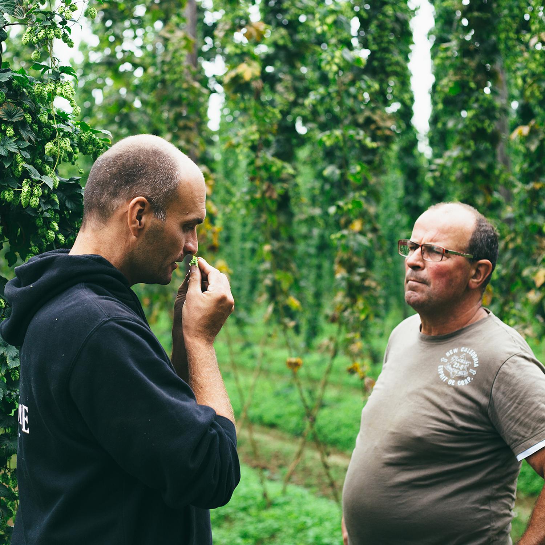 Hops harvest - La Binchoise