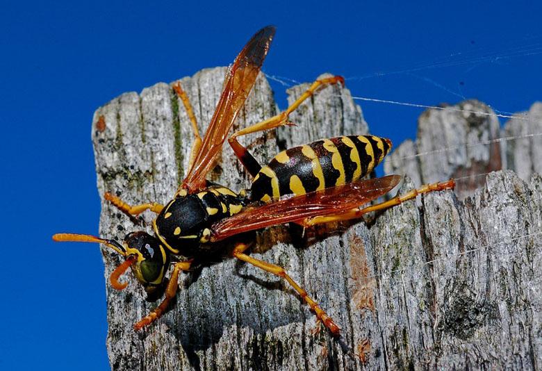 wasp control australia