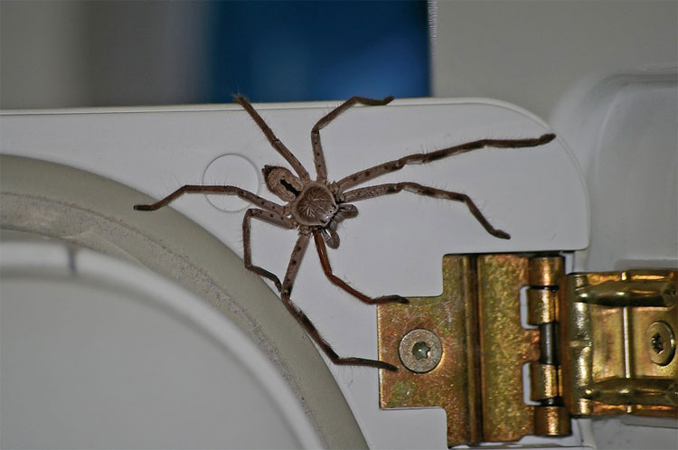 Pest and vermin control includes spiders, like this Queensland huntsman spider which  rests on childcare equipment