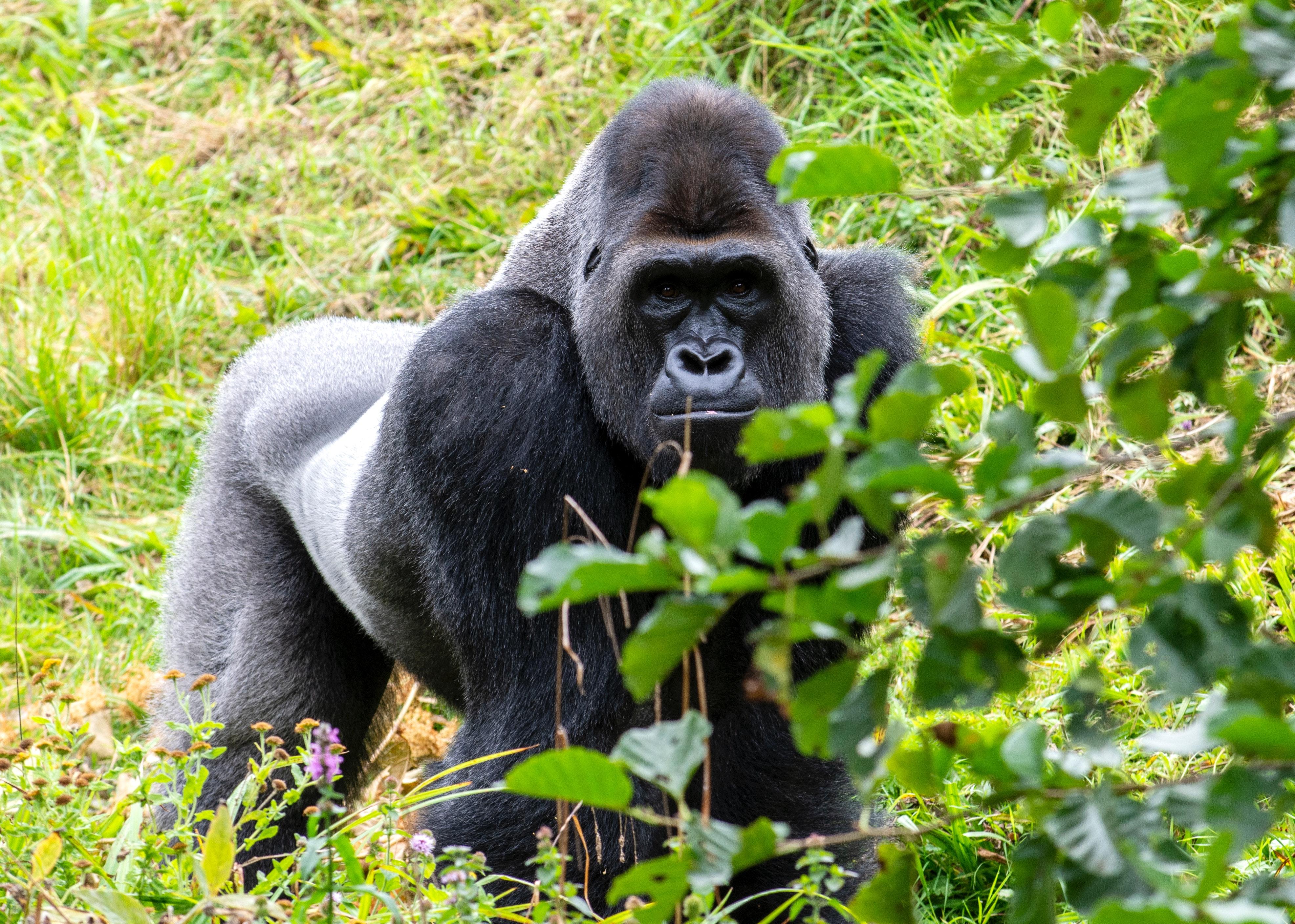 Global Gorilla Wholesales