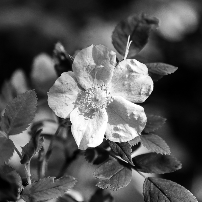 Black and white photograph of wild pink rose, located in Canada.