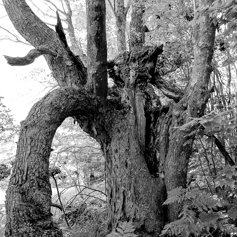 Black and white photograph of twisted tree trunks in the woods out on the Houghton Canal, located in Oskar, Michigan.
