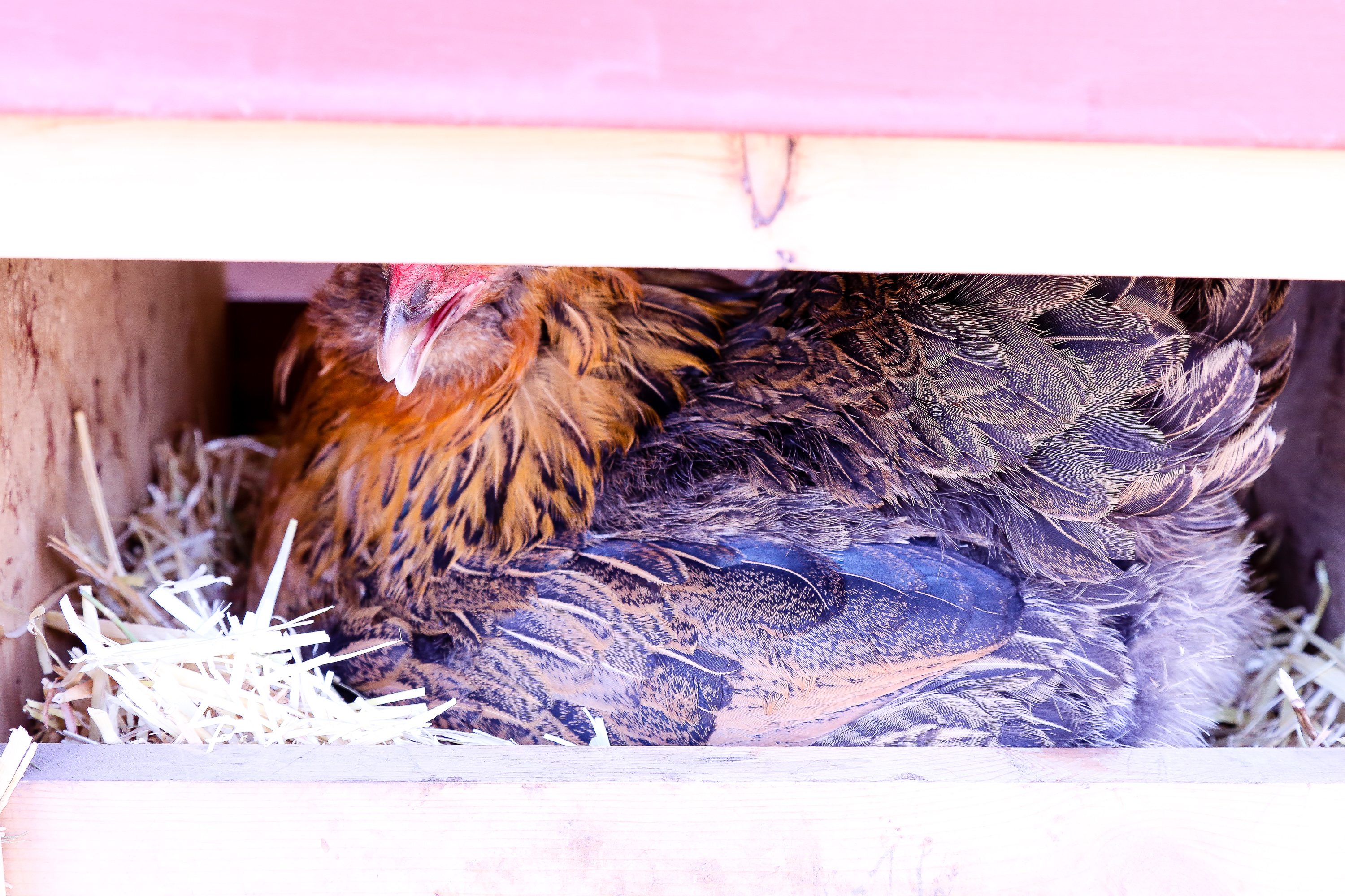 Photographing nature, chickens and eggs, located in Toivola, Michigan.