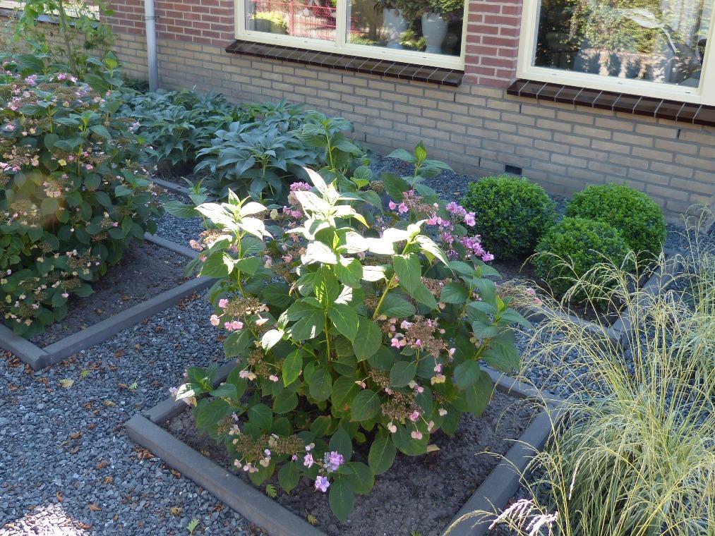 Hortensia's voor zomerbloei
