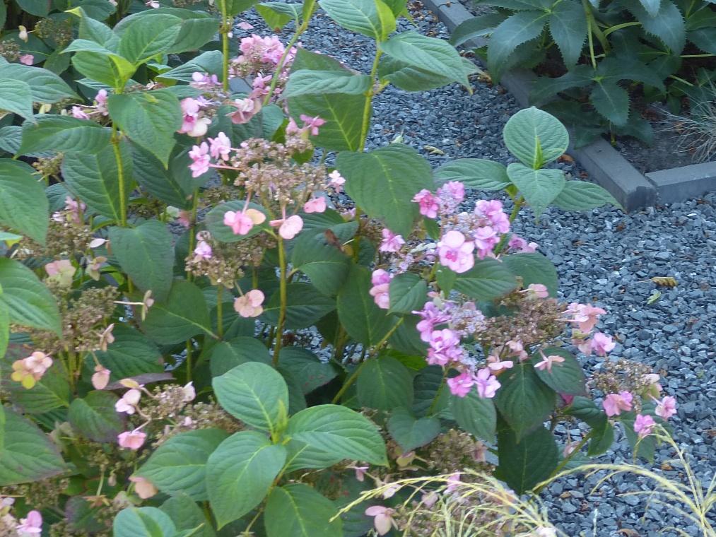 Boeren hortensia