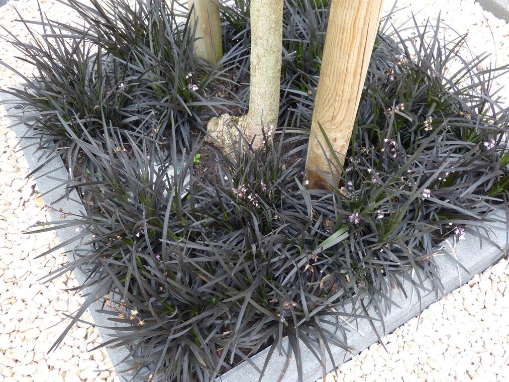 Het is niet 'groen' blijvend en het is geen zwart gras, maar wel heel decoratief, deze Ophiopogon.