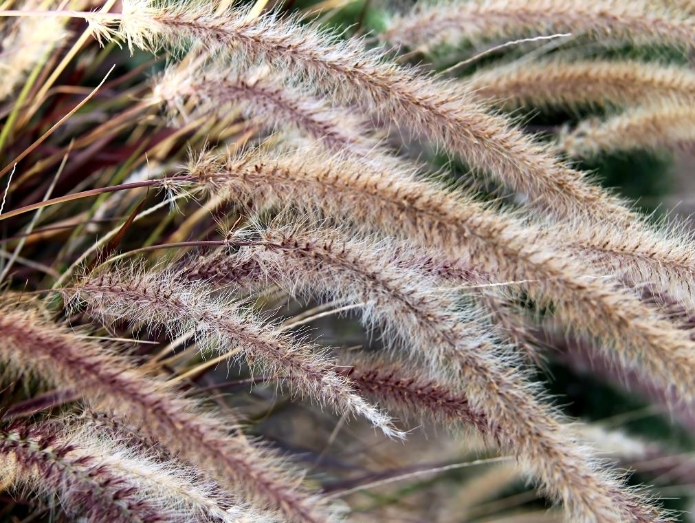 Bloeiaren van Pennisetum