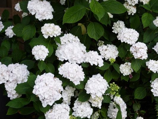 Witte boeren hortensia