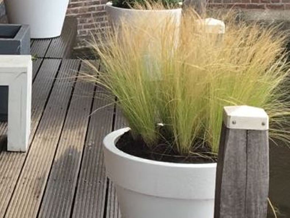 Stipa in pot