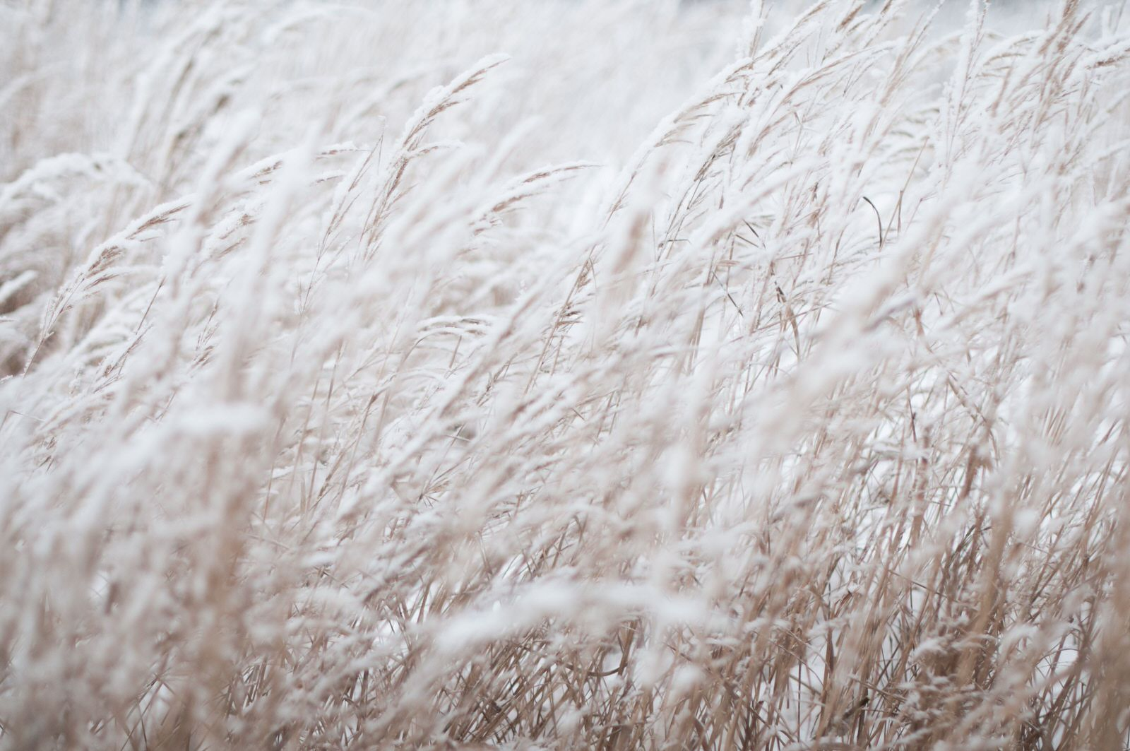 Wheat in the snow
