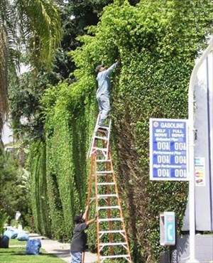 Man trimming a hedge using two ladders