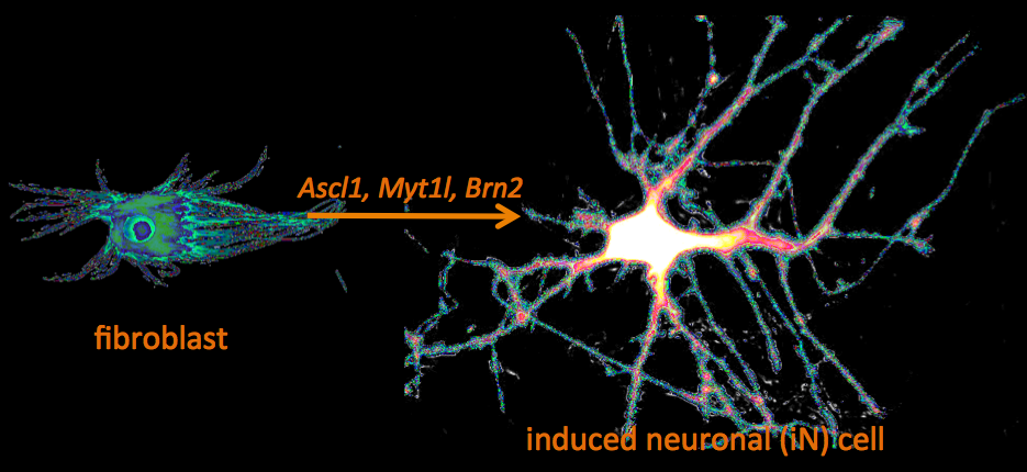 induced neuronal cell from fibroblast