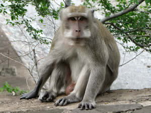 Java Macaque