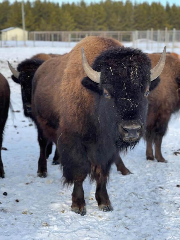 Safari North Zoo Bison