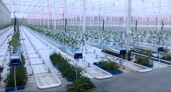 Bringing research and market together in new Syngenta demo greenhouse
