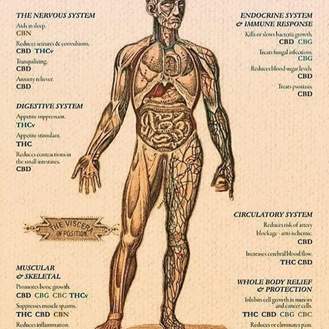 Anatomy image of human body with text on the benefits of CBD
