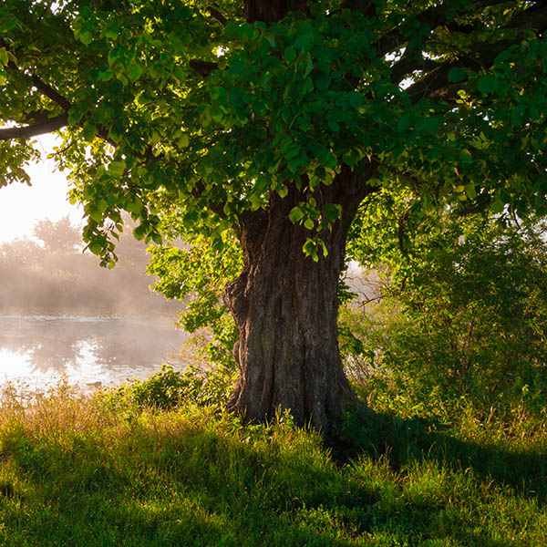 Picture of an oak by a river which is used as a hero image for the Irish Healing Tradition a medical anthropology course